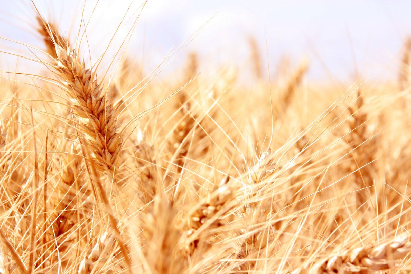 Champ de blé en Beauce